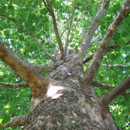 Sycamore Tree Trimming