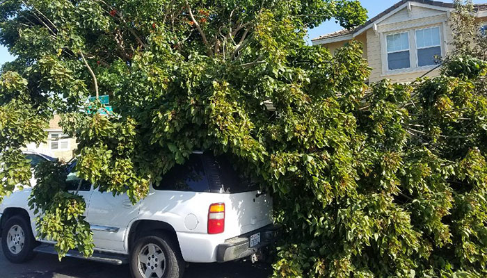 Emergency Tree Removal in Calabasas provided by West Coast Tree Co.